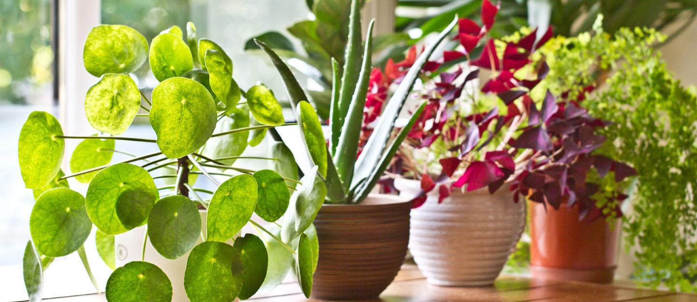 Best Indoor Plants In Pakistan For Your Homes Zameen Blog