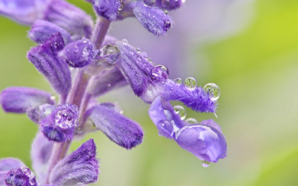 Lavender plant uses less water
