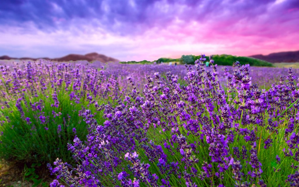 Lavender can survive any weather