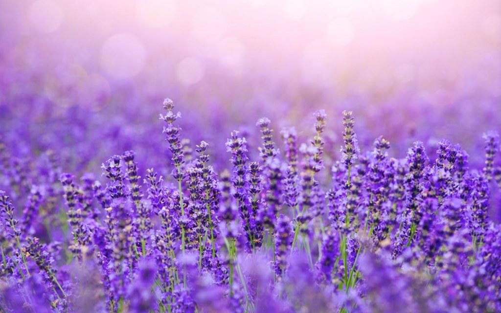 Lavender is an evergreen shurb