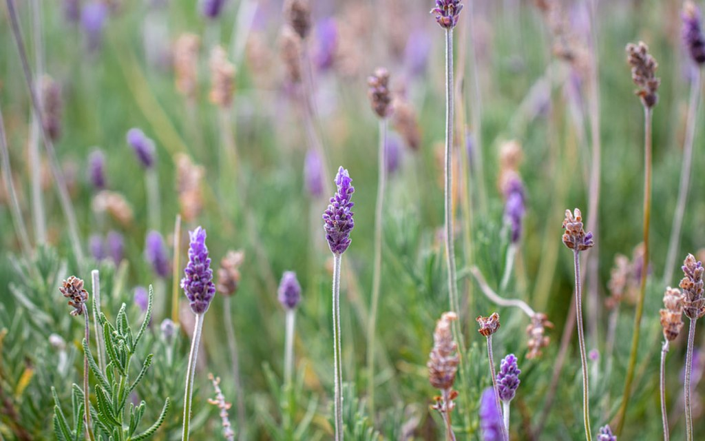Lavender can easily be planted in small steps