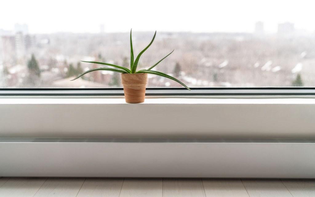 An aloe vera plant helps clean the air