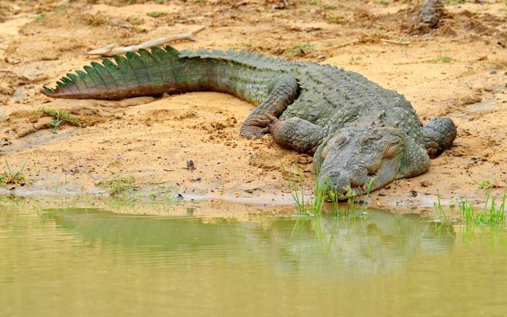 The Marsh Crocodile is an Endangered Species