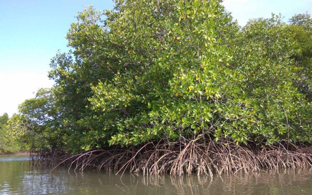 Mangroves in Sindh