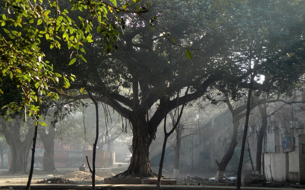 Banyan tree can grow up to be 1,000 years old