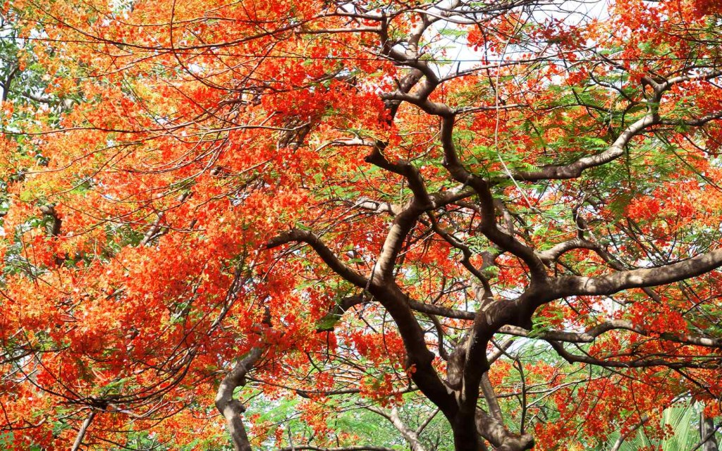 Gulmohar tree is admired for its red flowers.