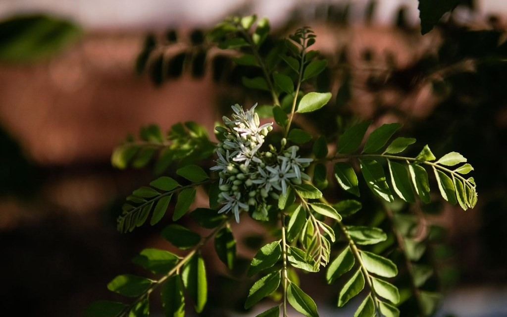 Neem leaves are used in medicines