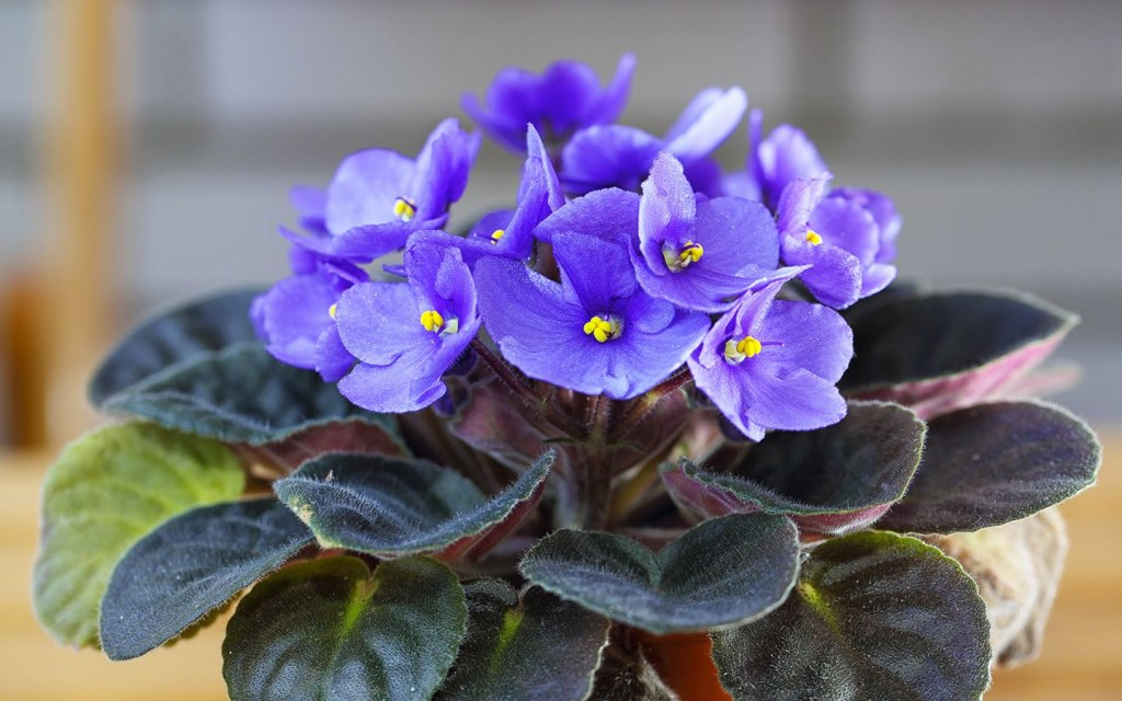 African Violet is a beautiful potted plant