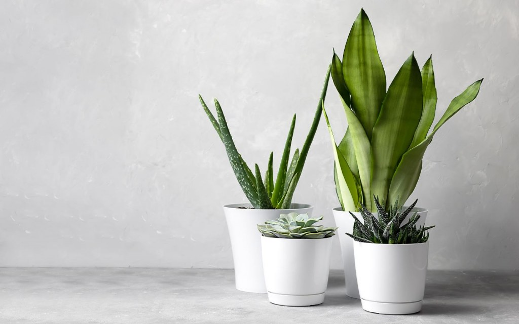 Snake Plant is a good option to keep at your desk